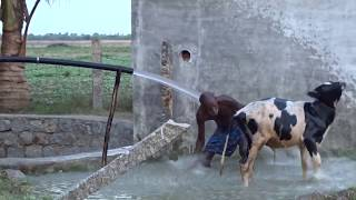 Black Spot Village Life-cow shower