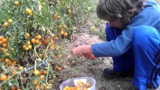 Children harvesting tomatoes