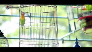 PIALA EBOD JAYA PESANTENAN - Aksi Love Bird Haruka milik Om Hasan Pontianak