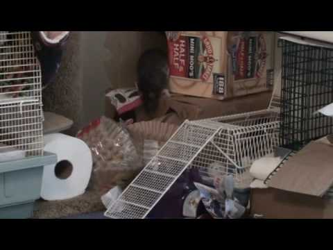 Pet Rat Stashes Magazine Shreds - Chancy!