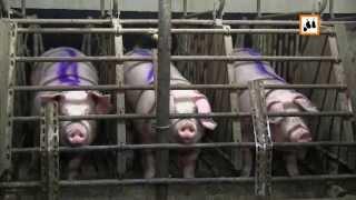 Über den grausamen Alltag in der Schweinezuchtindustrie berichtet Animal Rights Watch e.V.