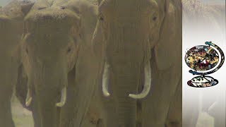 Is The Ivory Ban Truly Effective? (2000)