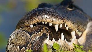 Crocodile vs Anaconda   Crocodile Attacks Anaconda