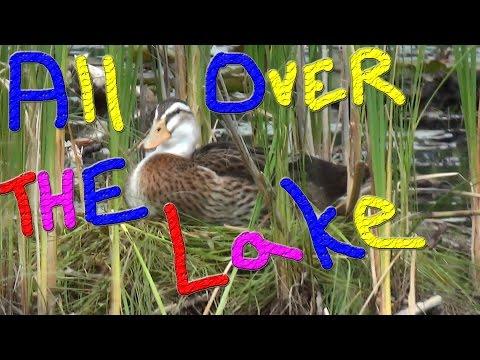 Ducks All Over The Lake #20 Raising Ducks For Charity
