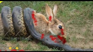 Big Snake  Attacks and Kills Rabbit | Rabbit vs Snake