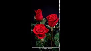 Rose Live Wallpaper for Android Phones and Tablets