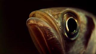 Archer Fish Water Pistol - Weird Nature - BBC