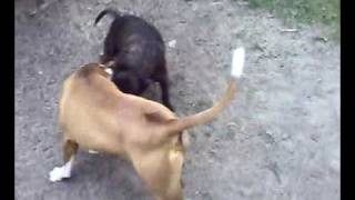 xxx pitbull funny good playing games raico en sas in de tuin