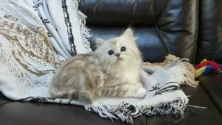 Silver natural mink classic tabby female RagaMuffin kitten
