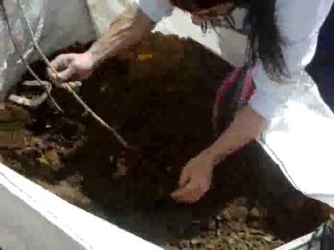Cómo sembrar una parra de una rama makapeta.