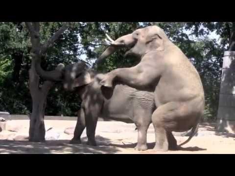 elephant's sex