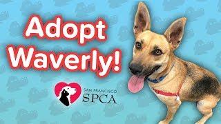 Adopt Waverly! // Shepherd Mix // Adoption Featurette