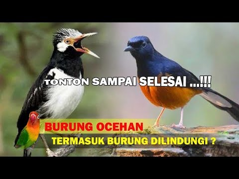 Burung Ocehan Dari Mulai Murai Batu Masuk Satwa Dilindungi, MOHON TONTON SAMPAI SELESAI