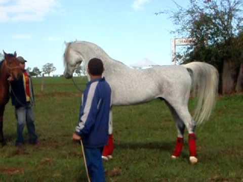 Hylan Arabian Horse Haras Engenho Laucidio Coelho