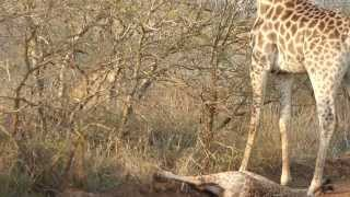giraffe mum screaming for defending her baby from a lioness