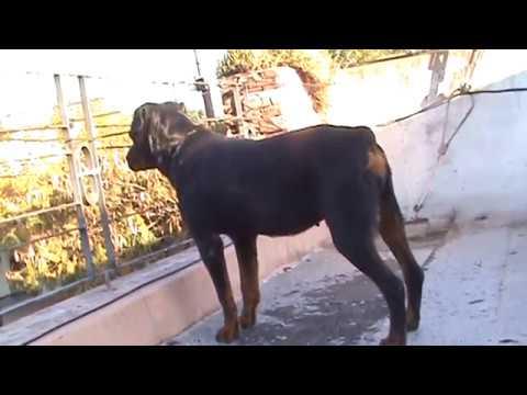 Rottweiler asesino
