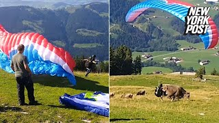 This paragliding amateur lands on a poor cow   New York Post