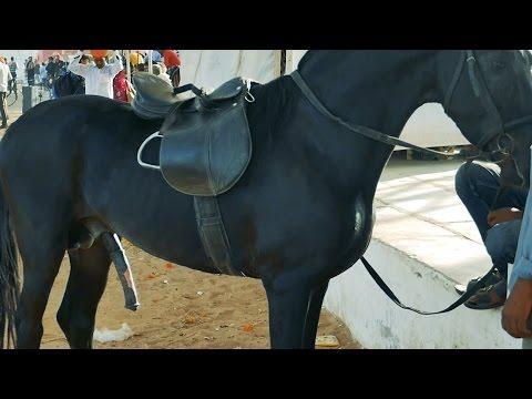 Horse after Sexual intercourse.Sex(copulation),Penis erectile position.Penis erection.Pushkar Fair