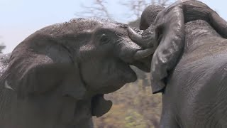 Elephants Fight Over Water - Nature