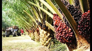 Asia Oil Palm Farm and Harvest - Oil Palm Cultivation Technology