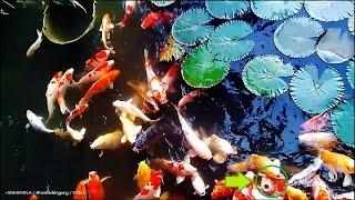 Ikan Mas Koi atau Ikan Karper