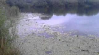 Spawning carp.3gp