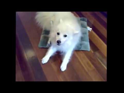 Pet Dogs - FUNNY JAPANESE SPITZ