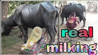 two women full length real buffalo milking
