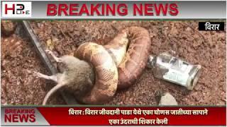 LIVE VIDEO विरार जीवदानी पाडा येथे एका घोणस जातीच्या सापाने एका उंदराची शिकार केली