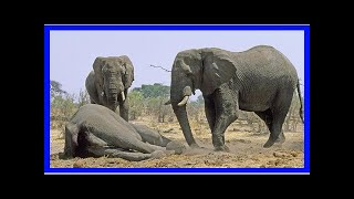 News-elephant Trophy hunting can actually living species?