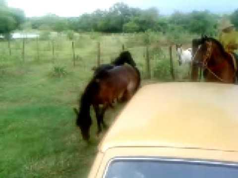 cavalos brigando
