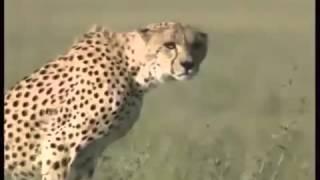 سرعة الفهد سبحان الله