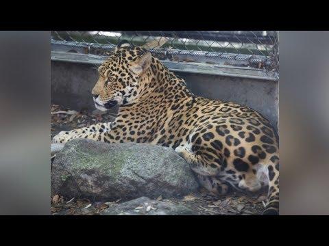 Xxx Mp4 Jaguar Escapes Exhibit Kills 6 Animals At Audubon Zoo New Orleans 3gp Sex