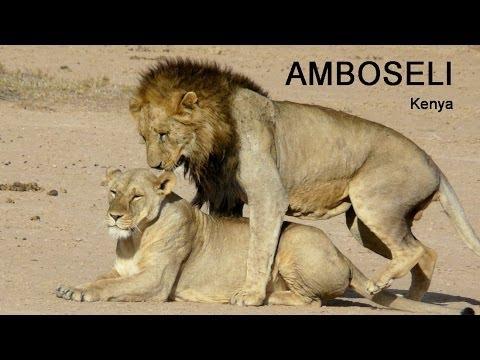 Amboseli (Kenya) - Lions mating - 2009