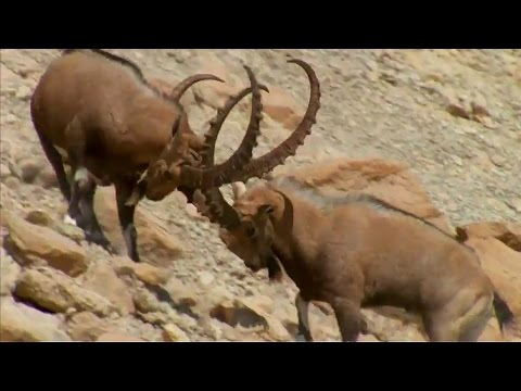 Ibex Fight For Sexual Dominance - Wild Arabia - BBC