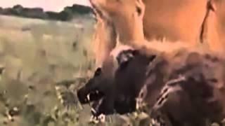 Hienas y Leones Peleas a Muerte جديد قتل الأسود لضباع
