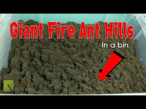 Xxx Mp4 WOW FIRE ANTS BUILD GIANT ANT HILLS In A BIN 3gp Sex