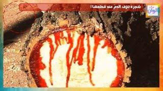 شجرة غريبة تنزف الدمّ عند قطعها !