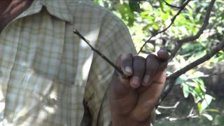 Grafting in Mango