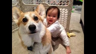 Best Babies Laughing At Corgi Dogs Video Compilation 2017