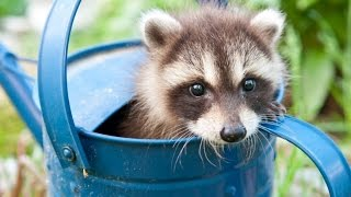 Baby Raccoon Videos - A Cute Baby Animals Compilation [BEST OF]