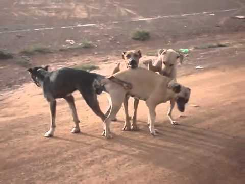 Group sex of dog, yeasir arafat
