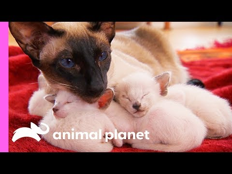 Xxx Mp4 Protective First Time Mom Looks After Her Curious Siamese Kittens Too Cute 3gp Sex
