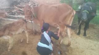 Cow gives milk us