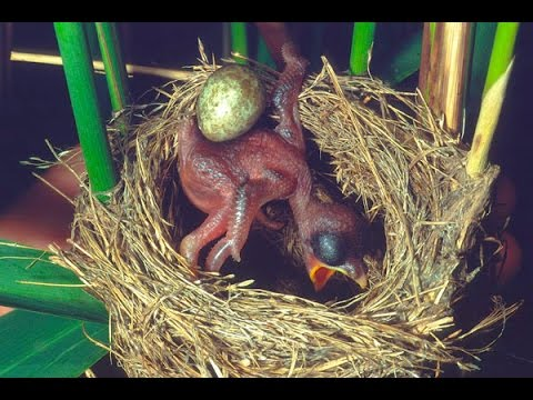 Xxx Mp4 Common Cuckoo Chick Ejects Eggs Of Reed Warbler Out Of The Nest David Attenborough 39 S Opinion 3gp Sex