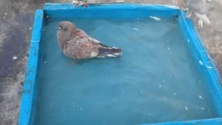 pigeon of pakhal vai in BD
