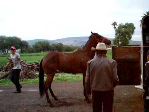 Caballos del guayabo de estrada Pénjamo Gto.