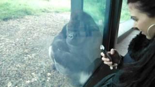 Silverback gorilla and girl