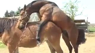 Rabiab horse Mating, Breeding Collection 2014   HORSE MATING   Farm House politician Making Love to