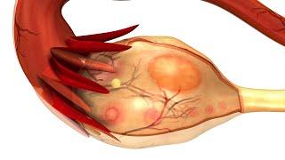 Human Physiology - Menstrual Cycle: Uterine Cycle